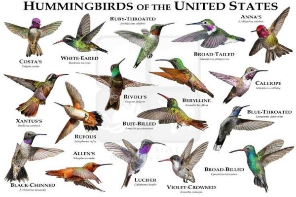 HummingbirdsChart,