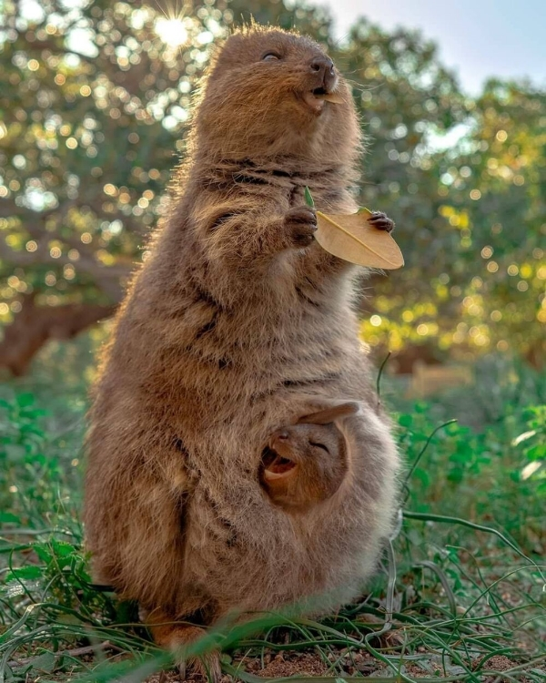 a-Wallaby,
