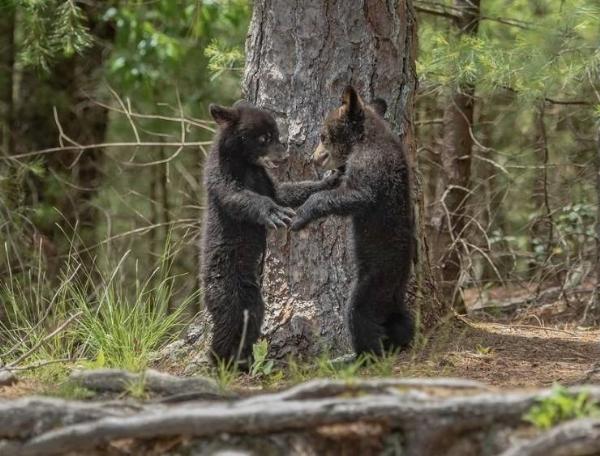a-BearCubs,
